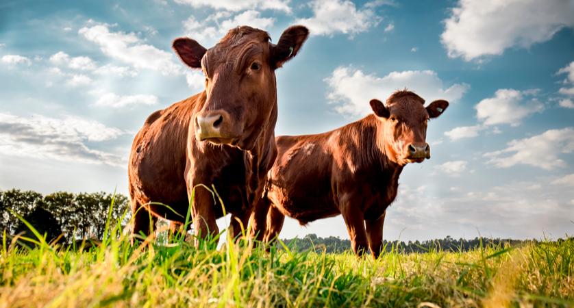 Quali sono i bovini?