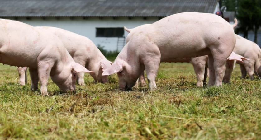 cosa mangiano i maiali